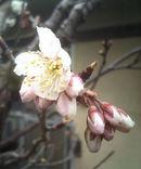 Sakura090226