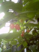 Cherry110511
