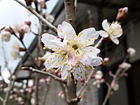 Sakura_2013