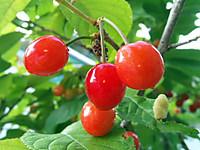 Cherry_2013