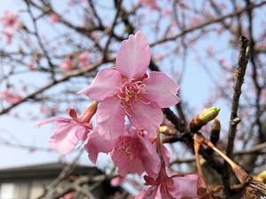 Sakura_140202_2