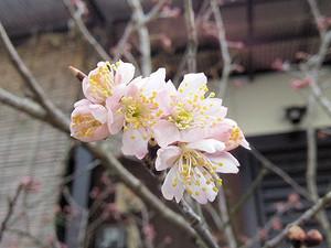 Sakura_2014_1