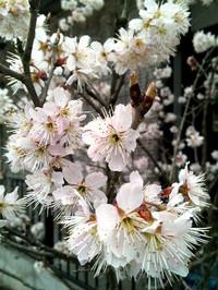 Sakura_2014_2