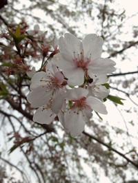 Hanami2014_4
