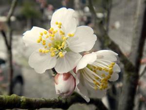 Sakura_2015