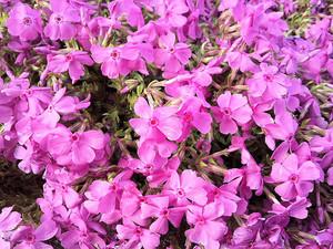Flower_150411_3