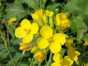 Flower_160305_1