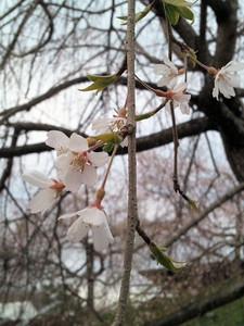 Sakura_160326_1