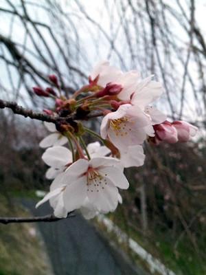 Sakura_160326_2