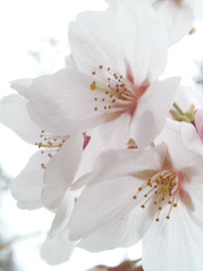 Sakura_160326_3