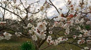Plum_blossom_2017_01