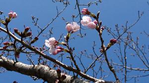 Sakura_170401_1
