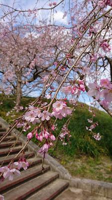 Sakura_170401_2