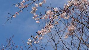 Sakura_170401_4
